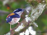 White-browed Shrike-Babbler - sp 306