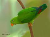 Vernal Hanging-Parrot -- Sp 247