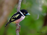 Black-and-Yellow Broadbill - sp 3