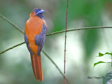Red-naped Trogon - sp 7