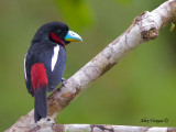Black-and-Red Broadbill - sp 16