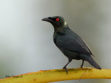 Asian Glossy Starling - sp 31