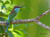 Blue-throated Bee-eater - sp 38