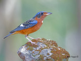 White-throated Rock-Thrush - 2011 - on the rock