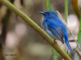 Hainan Blue Flycatcher -- sp 60