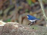 Siberian Blue-Robin - male - 2010