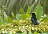 Spangled Drongo - sp 308