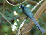 Racket-tailed Treepie -- Sp 9