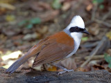 White-crested Laughingthrush -- sp 223