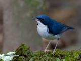 Siberian Blue Robin - male - 2011