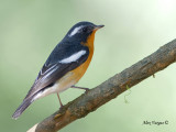 Mugimaki Flycatcher -- sp 313