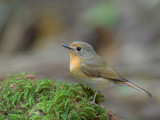 Hill Blue Flycatcher  -- sp 76