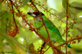 Golden-throated Barbet -- sp 28