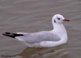Brown-headed Gull -- sp 195
