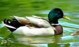 Mallar Ducks - male