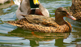 Mallar Ducks - female
