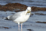Herring Gull with Crab, Packery Channel