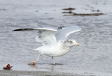 Herring Gull, Packery Channel