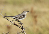 Mockingbird, Pond at Packery Channel