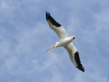 White Pelican Overhead