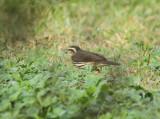 Northern Waterthrush,  Birding Center
