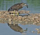 Night Heron Juvenile