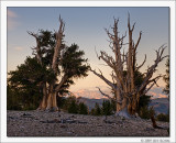 Ancient Bristlecones, White Mountains