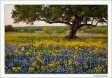 Texas Wildflowers, 2010