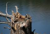 Goose nesting in tree