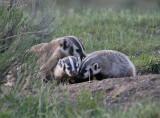 Badger mom & kits