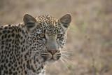 Young male leoapard in Sabi Sands