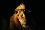 Majingilana male lion