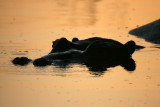Hippo at sunrise