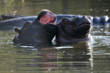 Hippo babies playing