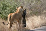 Lioness with a warthog kill