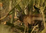 Red Deer at Oostvaardersplassen