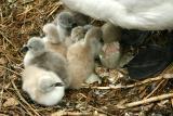 7 Chicks hatched