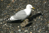 Mew Gull with chicks