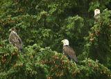 Bald Eagle family