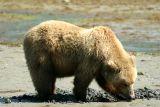 Coastal Brown Bear - Katmai N.P.