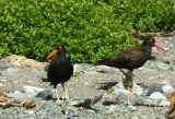 Oystercatchers with chick