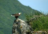 Bald Eagle nest on a rock