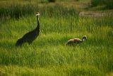 Sandhill Crane with chick