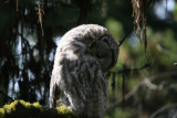 Great Gray Owl preening