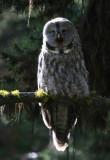 Great Gray Owl screeching