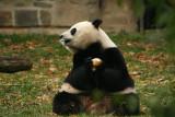 Mei Xiang enjoys her fruitsicly