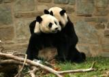 Mei Xiang & Tian Tian