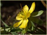 Winterling - Eranthis hiernalis