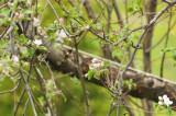 COLIBRI  À  GORGE RUBIS ( M ) Ruby-throated Hummingbird