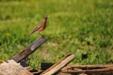 American Robin nest / Merle d'Amerique